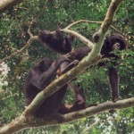 Bonobo males gain access to females with grooming and being friendly towards infants
