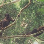Bonobos in ICDS Director Dr. Frances White's field research in the Congo
