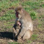 Macaque mothers get no care from the males who try to mate with as many females as possible